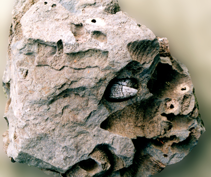 View Our Fossils | Gilboa Fossils