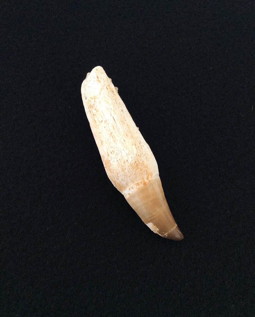Rounded Tooth Fossil