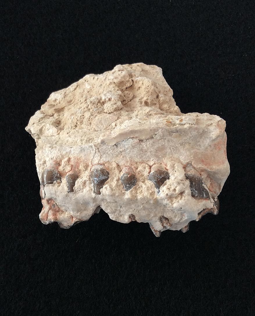 Oreodont Fossil Jaw